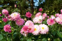 Growing Dazzling Dahlias