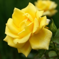 Plant of the week - Roses